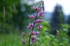 07_18_20-kwiaty-ogród-dom-makro-flowers-izery-1-lilium-martagon-lilia-złotogłów